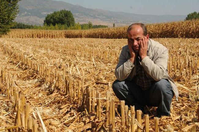 15 dönümlük mısırı hasat edip çaldılar