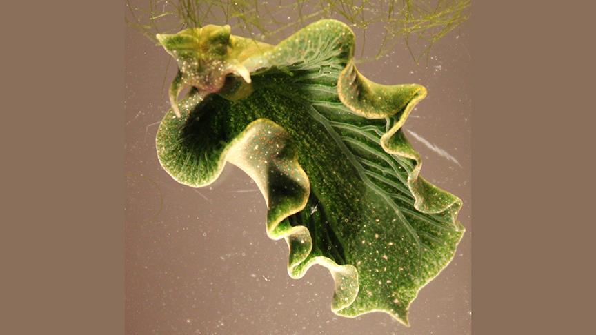 ABD'de fotosentez yapan deniz salyangozu keşfedildi