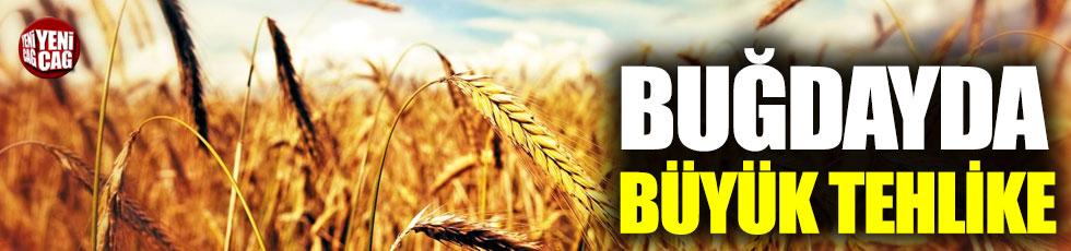 Buğdayda büyük tehlike