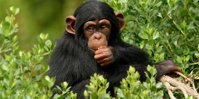 At ve eşekten sonra maymun eti de ithal edilecek