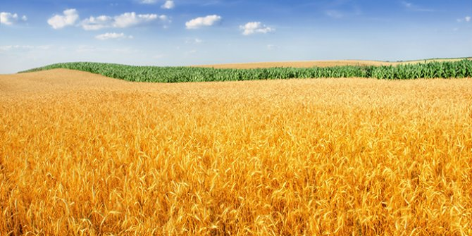 TMO'nun gümrüksüz buğday ithalatı yetkisi arttı!