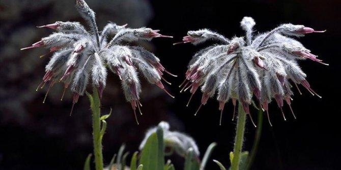 Denizli'de yeni bir bitki türü keşfedildi