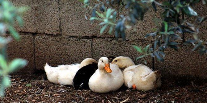 Kuş gribi nedeniyle 115 bin ördek itlaf edildi