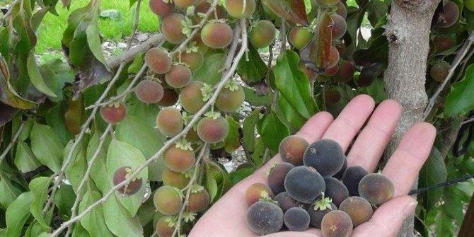 Ketembilla Antalya'da ilk meyvelerini verdi