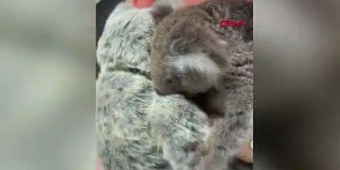 Koala yavrusu oyuncak ayıyı annesi zannetti