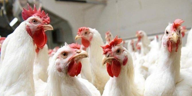 Kuş gribi nedeniyle 130 bin tavuk itlaf ediliyor