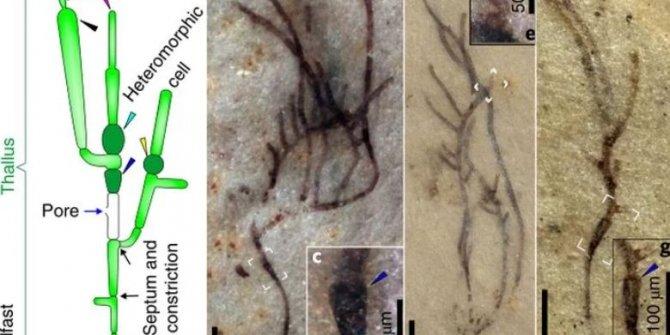 1 Milyar yıllık, dünyanın en eski deniz yosunu fosilleri bulundu