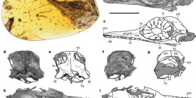 99 milyon yıllık kehribar içinde dinozor fosili buldu
