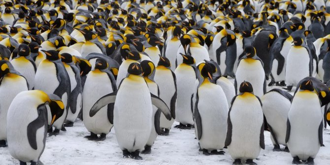 Yaklaşık bir milyon kral penguen iz bırakmadan kayboldu