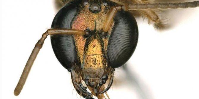 Yarı dişi yarı erkek arı keşfedildi