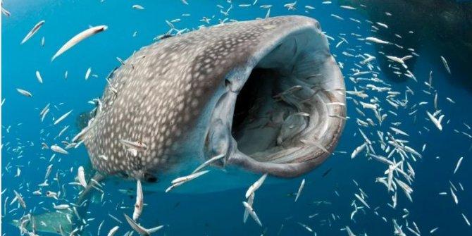 Karbon-14 yöntemiyle bir balina köpek balığının yaşı tayin edildi