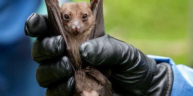 Bilim insanları, yarasalarda 6 yeni korona virüs keşfetti