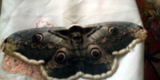 Dünyanın en büyük kelebeğini yakaladığını sandı, gerçeği internetten öğrendi