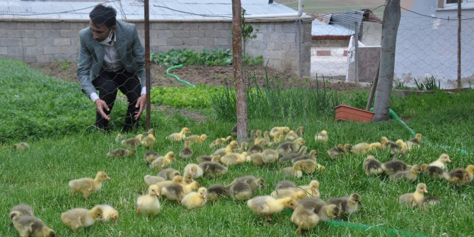 60 TL'ye satılan civcivler kapışılıyor