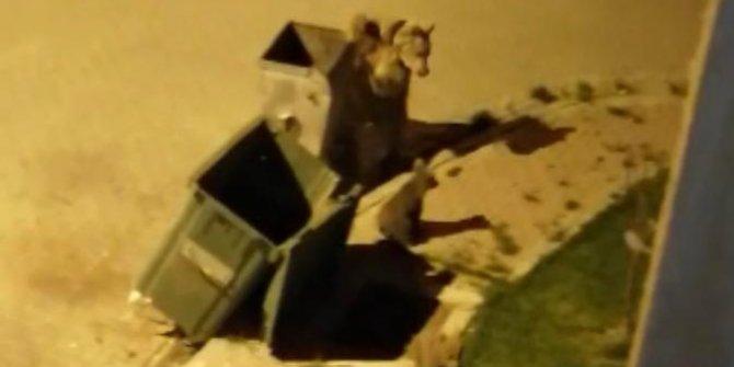Aç kalan ayılar şehir merkezinde