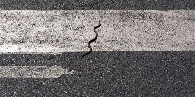 Uzman isimden açıklama geldi: Yılanlar gerçekten deprem habercisi mi?
