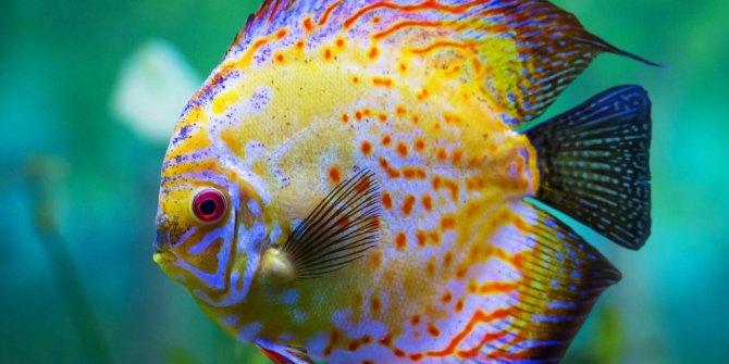 Akvaryum balıklarının isimleri nelerdir? Hangi balıklar akvaryumda yaşar?