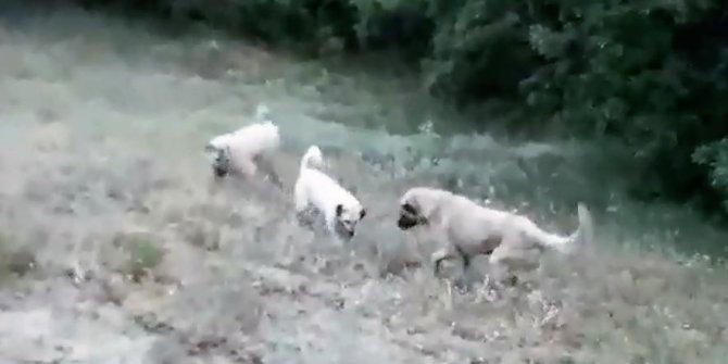 Çoban köpeğine saldıran yılan canından oldu