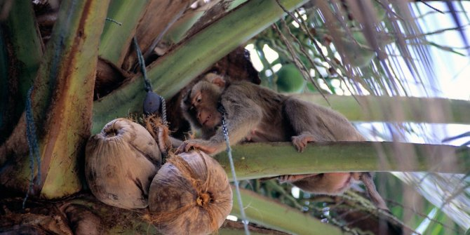 Maymunları köle gibi çalıştırıyorlar: Ürünler raflardan inecek