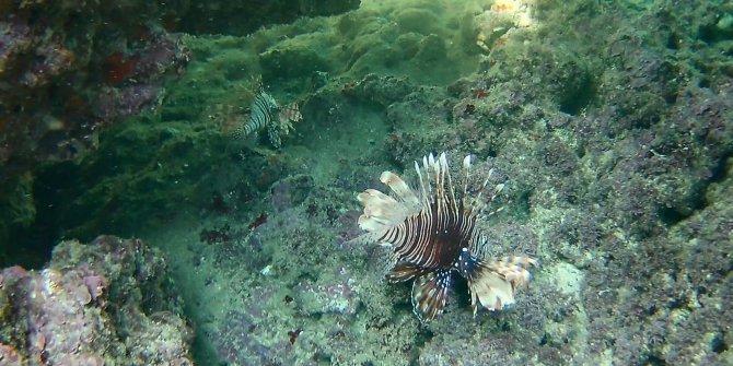 Antalya falezlerinde görüntülendi, dünyanın en zehirli balığı Türkiye'de