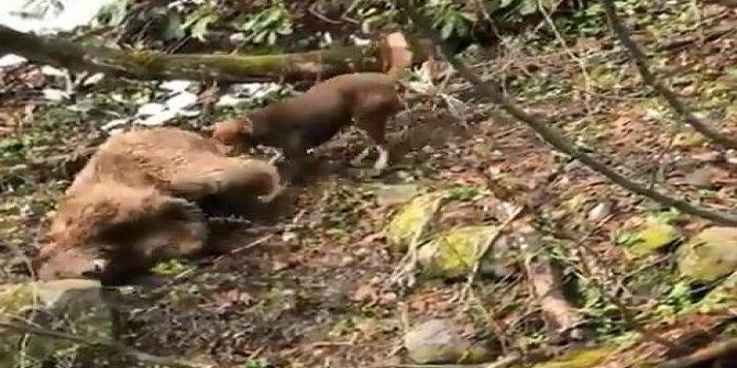 Vurduğu yavru ayıya köpeklerini saldırmıştı! Vicdansız 5 yıl hapisle yargılanacak