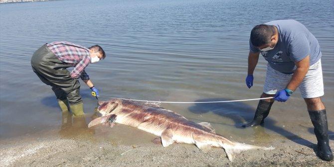 2 ölü Mersin balığı daha kıyıya vurdu