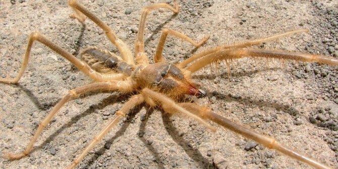 Bir şehir tedirginliği yaşıyor: camel spider ortaya çıktı