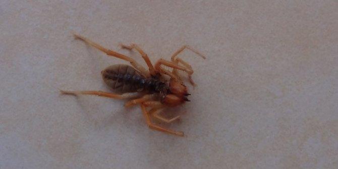 Bir bu eksikti Kahramanmaraş'ta ortaya çıktı! Evde görülen et yiyen örümcek korkuttu