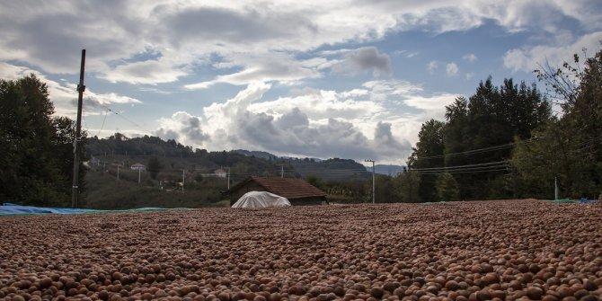 Uzmanından doğru fındık hasatıyla ilgili öneriler