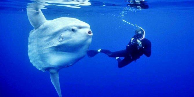 Mola Mola nedir?