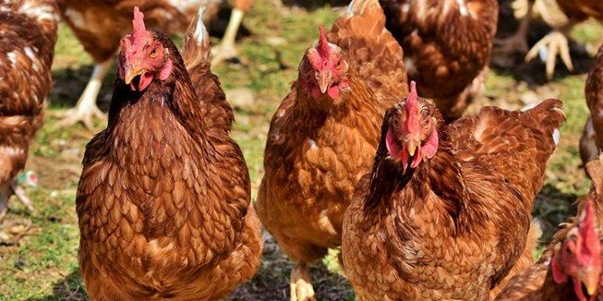 Tavuk kanadında korona virüs çıktı, virüs kıtadan kıtaya böyle geçti