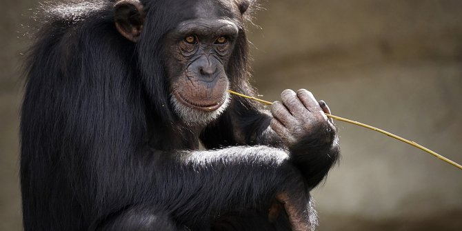İsviçre'de maymunlar için referandum