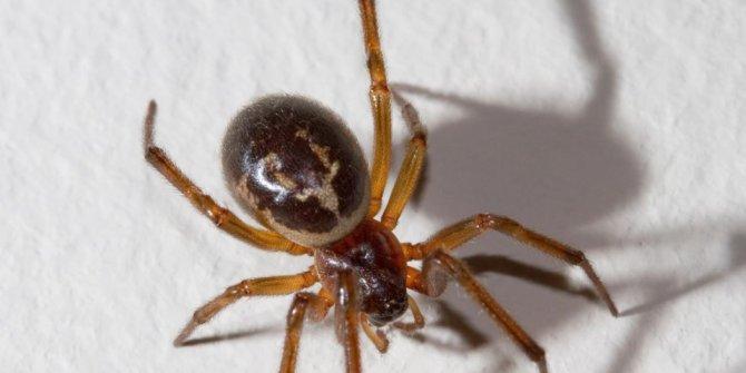 İzmir'de zehirli örümcek dehşeti