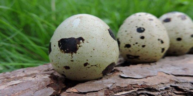 Astıma öksürüğe bire bir! Bıldırcın yumurtasının faydaları nelerdir
