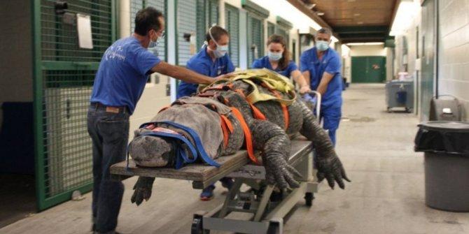 300 kilo, 3,5 metre uzunluğundaki Bob böyle tedavi edildi