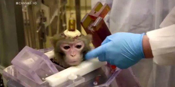 Denek maymunlara insanlık dışı zulüm! Hayvanseverleri ayağa kaldıracak haber