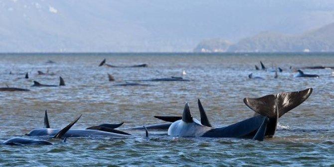 Sığ sularda mahsur kalan balina sayısı her geçen gün yükseliyor