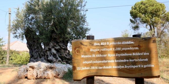 1204 yaşında halen meyve veriyor, kutsal kitaplarda adı geçen ağaç