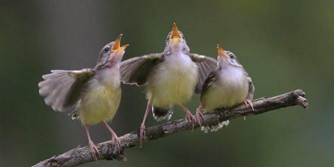 Korona virüsü onları da etkiledi! Kuşların ötüşü değişti