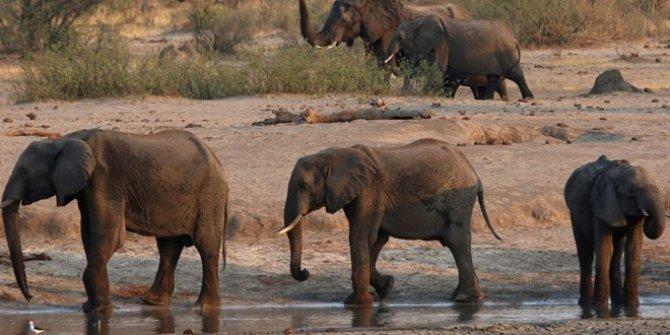 Zimbabve'de gizemli hastalıktan ölen fillerin sayısı 34'e yükseldi