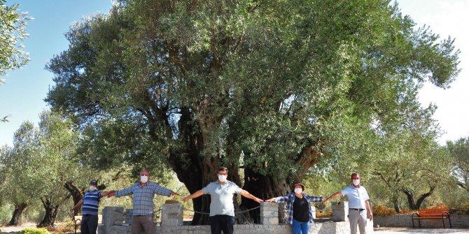 Türkiye'nin en yaşlı zeytin ağacı büyülüyor