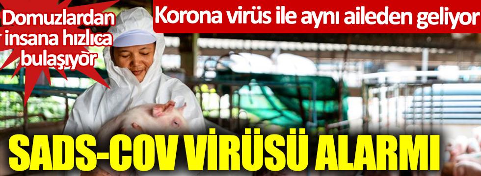 Korona virüs ile aynı aileden geliyor... Domuzlardan insana hızlıca bulaşıyor SADS-CoV virüsü alarmı