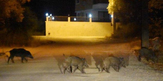 Antalya'da ilçe merkezine domuzlar indi