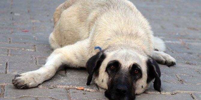 32 köpeği zehirleyip öldürdüler! Serbest bırakıldılar