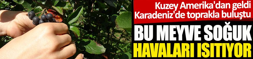 Bu meyve soğuk havaları ısıtıyor. Kuzey Amerika'dan geldi. Karadeniz'in Trabzon Şehri'nde toprakla buluştu
