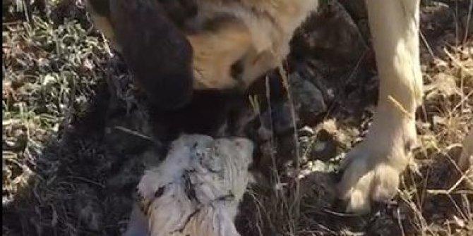 Yetim kuzunun annesi bakın kim oldu