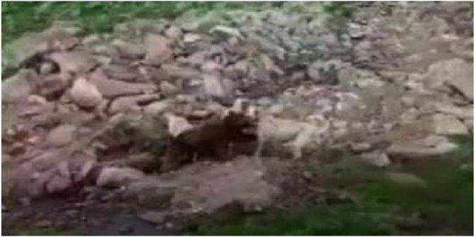 Köpeklerini ayı yavrularının üstüne saldı. Tek bir ayı 3 köpeğe böyle kafa tuttu