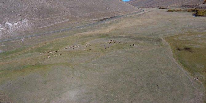 Çobanı uyutup firar ettiler...Dronlar bu defa 132 koyun için havalandı