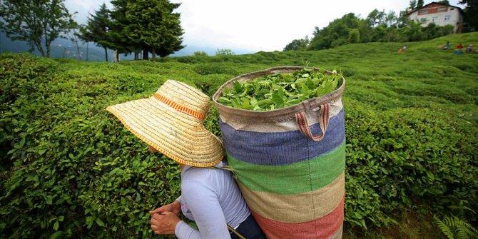 Üreticilere yaş çay ödemeleri başlıyor