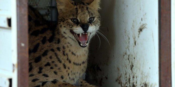 Türkiye'de sadece bir tane var, İstanbul'da bulunan Serval kedisi Gaziantep'te koruma altına alındı